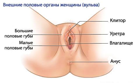 Женские малые половые губы, рисунок