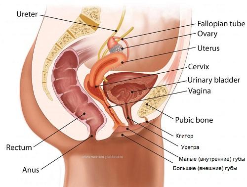Большие половые органы женские 90